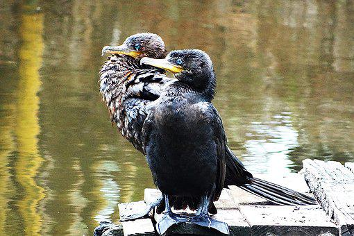 Cormorant, Neotropic Cormorant, Lake, Pond, Birds, Eyes
