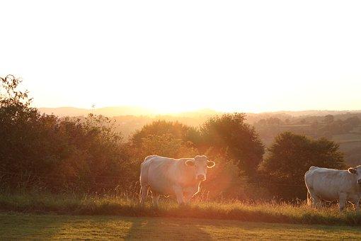 Cows, Field, Cow, Mammals, Pastures, Pre, Animals