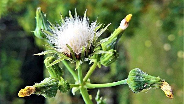 Plant, Dandelion, Arable Sow-thistle, Composites