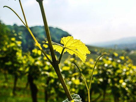 Vineyard, Leaf, Evening Sun, Wine, Sunny, Wine Leaf