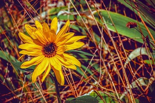 Sunflower, Helianthus, Small Sun Flower, Flower