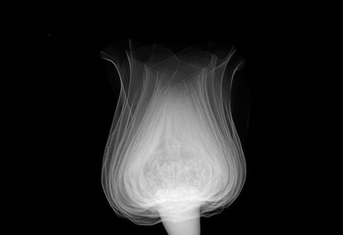 Rose, Xray, Science, Technology, Flower
