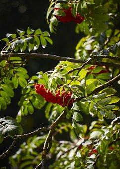 Rowan, Tree, Autumn, Nature, Berry, Foliage, Orange