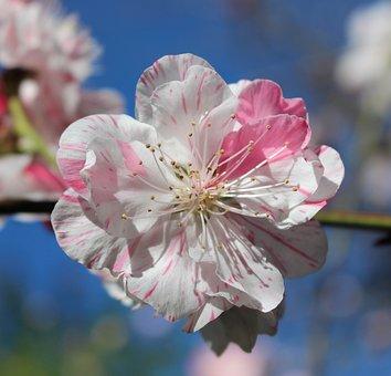 Peach Blossom, Fruit Tree Blossom, Ornamental