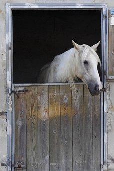 White, Horse, Mane, Box, Head, Stable