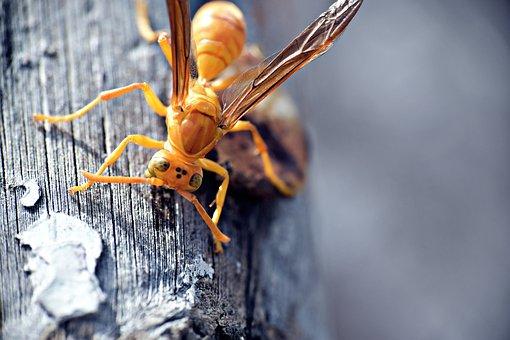 Paper Wasp, Ropalidia Marginata, Insects, Yellowjackets