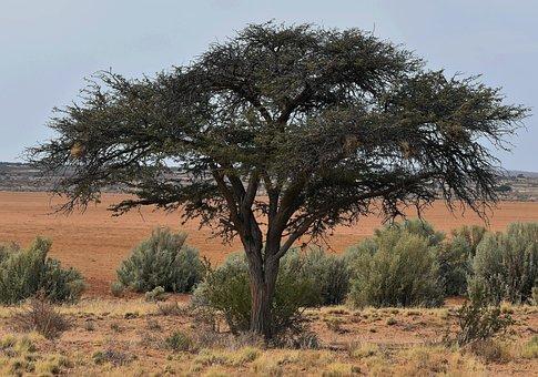 Tree, Acacia, Desert, Playa, Kalahari Sand