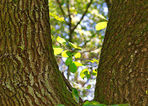 Beech, Trees, Bark, Green, Leaves, Deciduous Tree