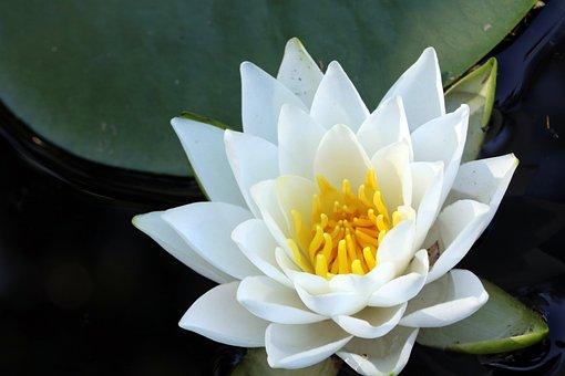 Lotus, Pond, Plants, Flowers, Water Lilies, Petal, Leaf