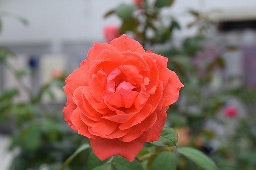 Rose, Flower, Red, Bloom, Blossom, Nature, Love, Pink
