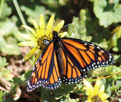 Monarch Butterfly, Daisy, Yellow, Springtime