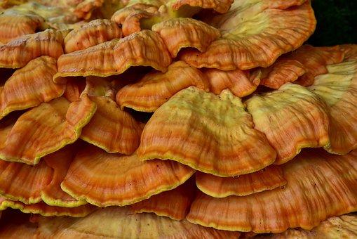 Sulphur Ovinus, Tree Fungus, Mushroom, Nature, Forest
