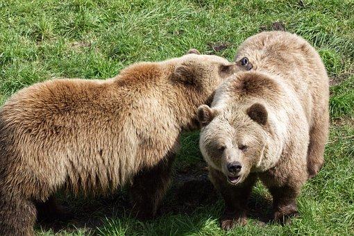 Bear, Brown Bear, Animal, Nature, Animal World, Fur