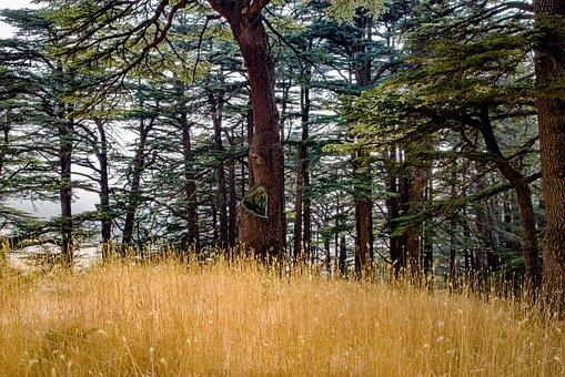 Forest, Tree, Wood, Cedar, Conifer, Nature, Summer