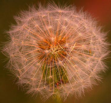 Dandelion, Nature, Close Up, Seeds, Pointed Flower