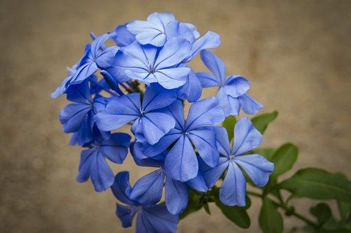 Jasmine Blue, Jasmine, Blue, Beauty, Flora, Nature