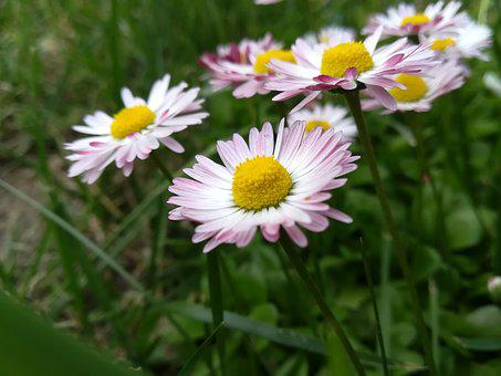 Flowers, Daisy, Nature, Summer, White, Pink, Plant