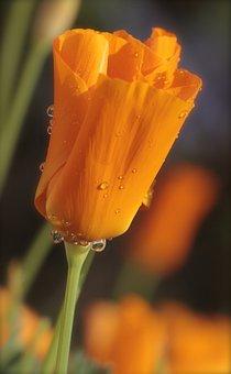 Poppy, California, Raindrop, Nature, Bloom, Bright
