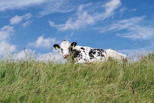 Neßmersiel, Dike, East Frisia, North Sea, Animals, Cows