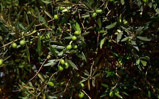 Olive Tree, Crown, Olives, Branch, Green, Background