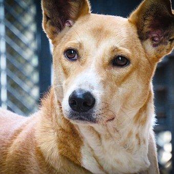 Dog, Indian Pariah, Pet, Cute, Portrait