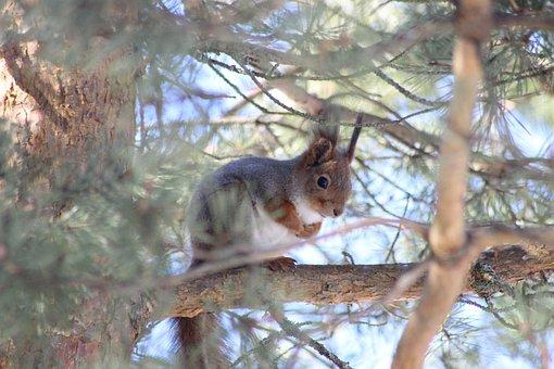 Squirrel, Tree, Pine, Pinetree