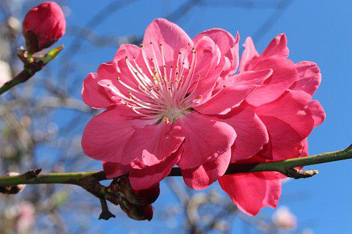 Peach Blossoms, Fruit Tree Blossoms, Ornamental, Pink