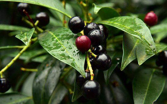Prunus Laurocerasus, Laurocerasus Officinalis