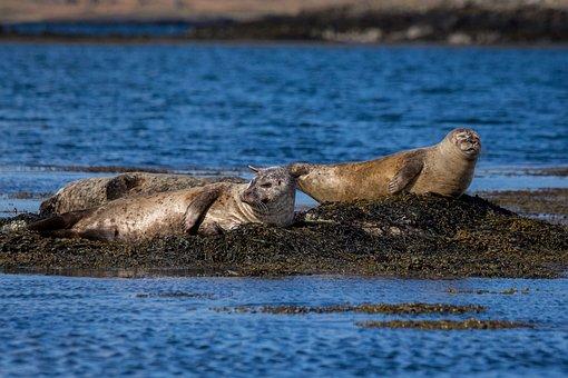 Animal, Animal World, Nature, Mammal, Robbe, Seal