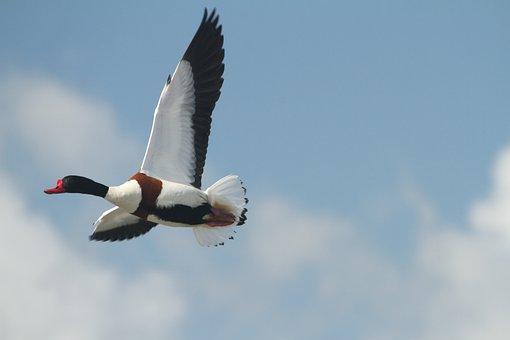 Common Shelduck, Duck, Sky