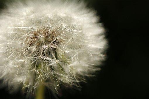 Dandelion, White, Summer, Bloom, Garden, Fluffy