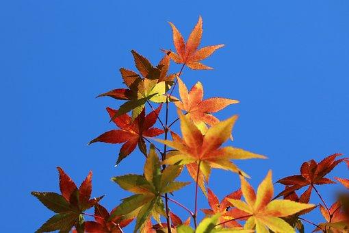 Autumn Leaves, Maple, The Leaves, Nature, Autumn