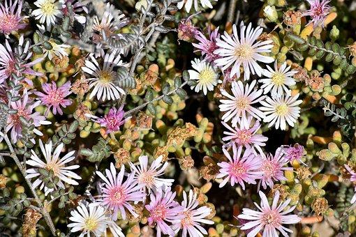 Plant, Vegetation, Succulent, Flowers, Desert