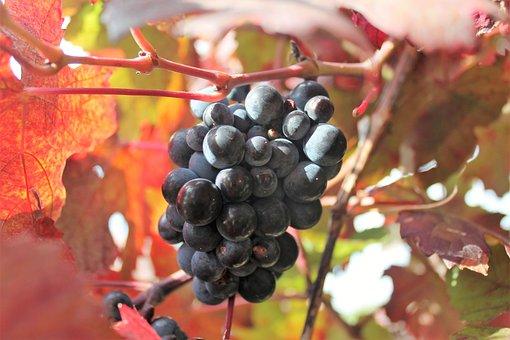 Grape, Vine, Fruits, Ripe, Red