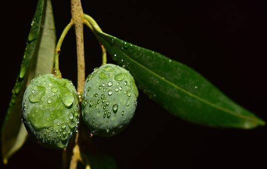 Olives, Wet, Drip, Olive Branch, Moist, About, Green
