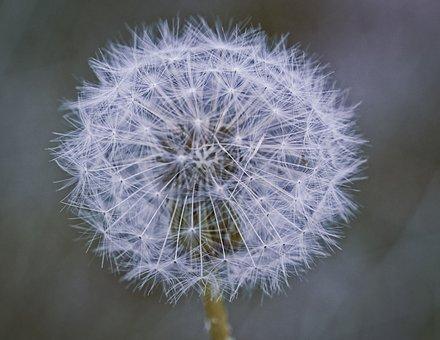 Dandelion, Seeds, Nature, Flower, Close Up, Wild Flower