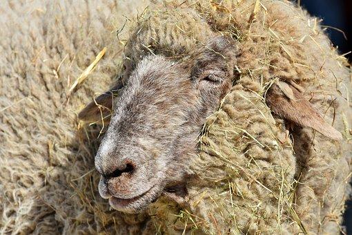 Sheep, Sheepshead, Wool, Livestock, Sheep's Wool