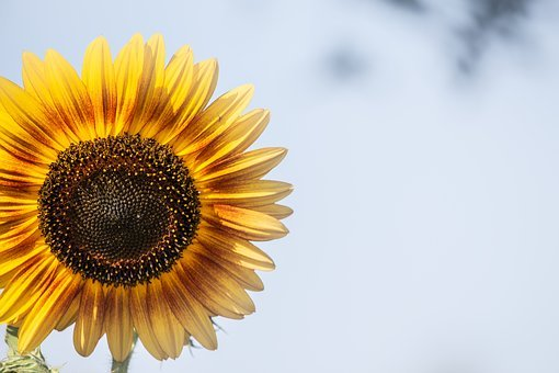 Sunflower, Background, Yellow, Summer, Flower, Blossom