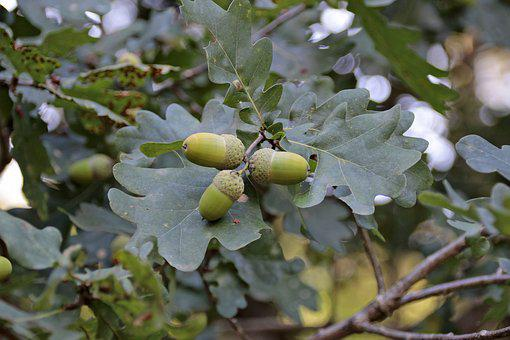 Acorns, Tree, Fruit, Oak, Leaves, Green, Tree Fruit