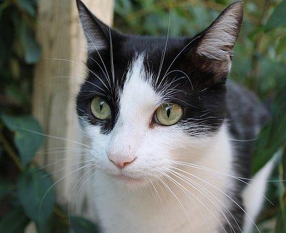 Cat, Nor And White, Animal, Pet, Feline, Portrait, Cute