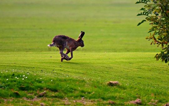Hare, Animal, Mammal, Running, Ears, Legs, Wildlife