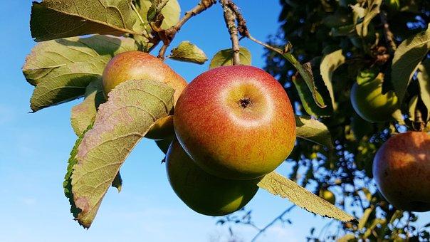 Apple, Ripe, Apple Tree, Autumn