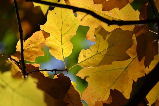 Oak, Leaves, Autumn, Autumn Colours, Forest