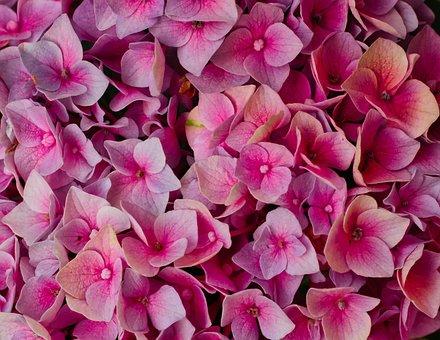 Hydrangeas, Flowers, Bright, Background, Romantic