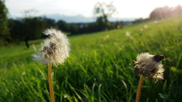 Dandelion, Alpine Meadow, Alpine, Backlighting