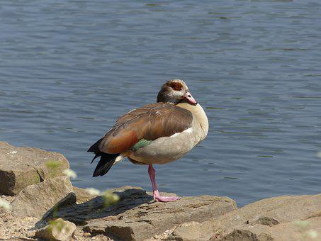 Egyptian Goose, Goose, Adult, Lake, Roosting, Bird
