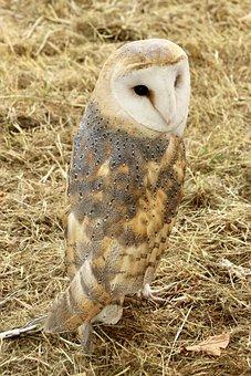 Barn Owl, Owl, Bird