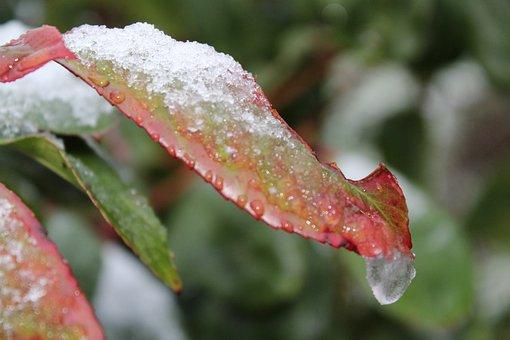 Nature, Leaf, Snow, Plant, Natural, Branch, Foliage