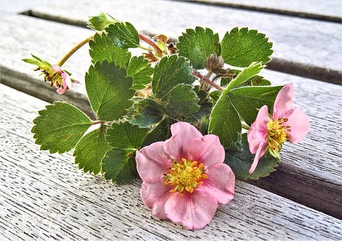 Plant, Strawberry, Branch, A Small Tendril