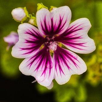 Stock Rose, Bright, Blossom, Bloom, Hollyhock, Purple